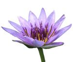 Blauer_Lotus1